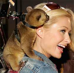 Paris Hilton kinkajou